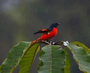 Borneo_3161_20120218_Sepilok_Bird_ScarletMinivet_webembed.jpg