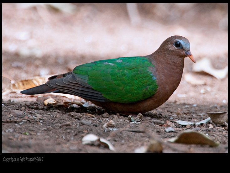 emerald_dove-01.jpg